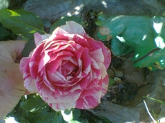 candy stripe rose.jpg